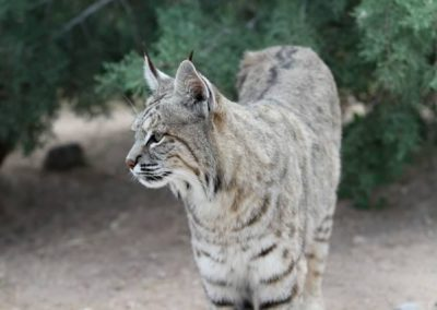 Bobcat-Wildlife Center