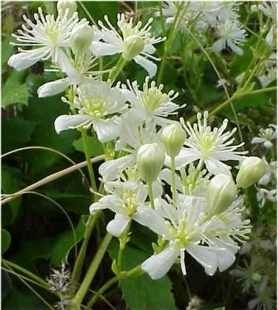 Clematis_ligustifolia