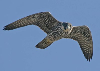 Peregrine Falcon, juvenile flying (Bolsa Chica, Feb.)
