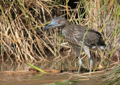 black crowned Knight Heron released
