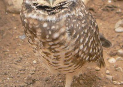 burrowowl